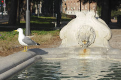 Fountain of Rome with the presence of a gull. Detail of fountain with head of lion Rome, with the presence of a seagull Royalty Free Stock Images