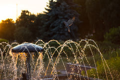 Fountain with turtledove. Sunset against the background of drops of water from the fountain and the turtledove sits Royalty Free Stock Images