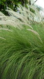 Fountaingrass Royaltyfri Fotografi
