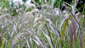 Fountaingrass, das in den Wind beeinflußt stock video footage
