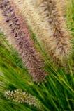 Fountaingrass en madrugada foto de archivo libre de regalías