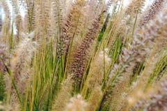 Fountaingrass zakrywał w wczesny poranek rosie fotografia royalty free