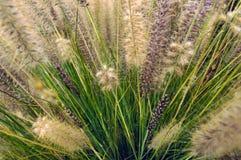 Fountaingrass zakrywał w wczesny poranek rosie obrazy royalty free