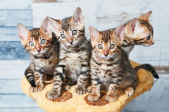 Four adorable brown spotted bengal kittens. Sitting on a stand Stock Image