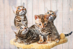 Four adorable brown spotted bengal kittens. Sitting on a stand Royalty Free Stock Image