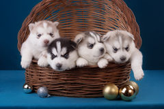 Four adorable Husky puppy in basket. On a blue Royalty Free Stock Photo
