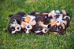 four adorable puppies sleeping on their backs Stock Images