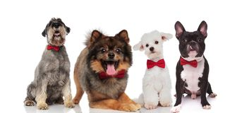 Four adorable stylish dogs wearing red bowties on white backgrou. Four adorable stylish dogs wearing red bowties while sitting and lying on white background Royalty Free Stock Photo