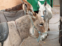 Four Adult Donkeys Royalty Free Stock Photography