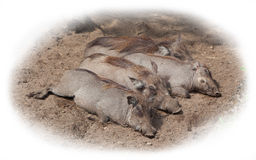 Four adult warthogs resting Royalty Free Stock Photos
