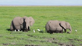 Four African elephants feeding in the marshland on a day stock video