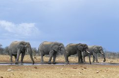 Four African Elephants (Loxodonta Africana) in a row Stock Photo