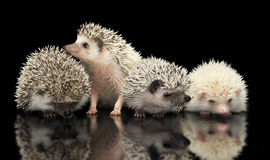 Four African Hedgehogs are in the dark studio one looking up. Four African Hedgehogs are in dark studio one looking up Stock Photo