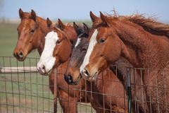 Four alert horses. Four alert quarter horses in a pen in Kansas Royalty Free Stock Photos