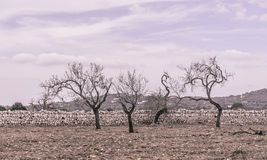 Four almond trees. On red earth and with drystone wall outside Santanyi, Mallorca in October. Mallorca, Balearic islands, Spain. Vintage coloring Stock Photos