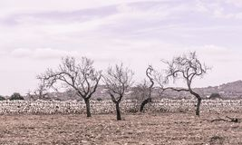 Four almond trees. On red earth and with drystone wall outside Santanyi, Mallorca in October. Mallorca, Balearic islands, Spain. Vintage coloring Royalty Free Stock Photos