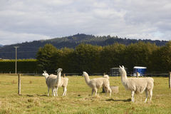 Four alpacas relaxing at the farm. With mountain and trees Royalty Free Stock Photos