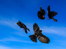 Four alpine choughs in a flight Royalty Free Stock Images
