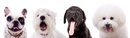 Four amazed puppy dogs. On white background. french bull dog, labrador retriever, bichon frise and a West highland white terrier looking very cute Royalty Free Stock Images