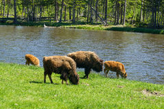 Four American Buffalo Graze Royalty Free Stock Photo