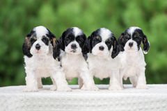 Four american cocker spaniel puppies outdoors Stock Photos