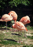 Four american flamingos (Phoenicopterus ruber) Royalty Free Stock Photos