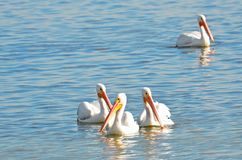 Four American white pelicans floating together in a group on reflective aquamarine water with copy space. stock photos