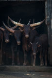 Four Ankole-Watusi cattle staring out from barn Royalty Free Stock Images