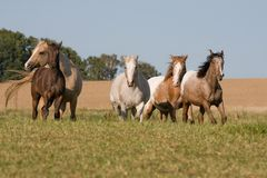 Four Appaloosa horses running on meadow Royalty Free Stock Photography