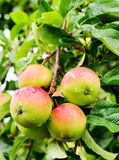 Four apples on a branch of an apple-tree Royalty Free Stock Photo