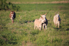 Four approaching donkeys Stock Images