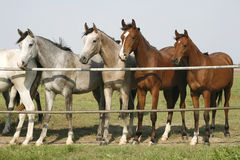 Four arabian youngster looking over corral gate at summertime Stock Image