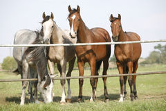 Four arabian youngsters looking over corral gate Royalty Free Stock Photography