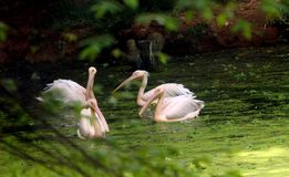 Asian rosy pelicans sailing in lake. Four asian rosy pelicans sailing in lake water,at trivandrum zoological park, India stock images