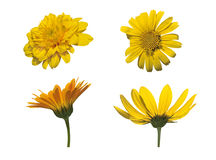 Four Asteraceae isolated Stock Photos