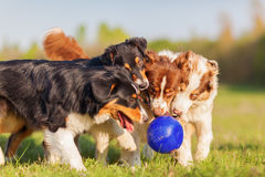 Four Australian Shepherd dogs fighting for a ball Royalty Free Stock Photo