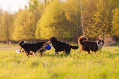 Four Australian Shepherd dogs playing on a meadow Stock Photography