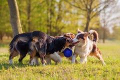 Four Australian Shepherd fighting for a ball Royalty Free Stock Photo