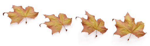 Four autumn leaves. Autumn leaves in four different positions.Located in a motion concept with a soft reflection Stock Photography