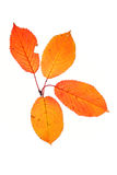 Four autumn leaves. Isolated on white background Royalty Free Stock Photography
