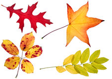 Four autumn leaves. High resolution isolated on white Stock Image