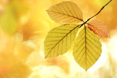 Four autumn leaves on a branch Royalty Free Stock Photos