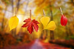 Free Four Autumn Leaves Hanging On Clothespins On A Rope Fall Woods Landscape Background Royalty Free Stock Photo - 195081815