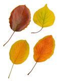 Four autumn leaves on white Stock Photo