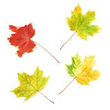 Four autumn maple leaves isolated. Set of four autumn maple leaves isolated over the white background Royalty Free Stock Photography