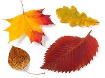 Four autumnal leaves royalty free stock photos