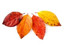 Four autumnal leaves Royalty Free Stock Images
