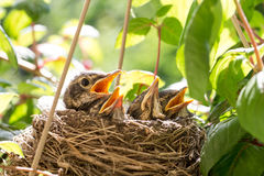 Four Baby Birds in a Nest. Close up image of four baby robins in a bird nest waiting for food.  One bird appears more dominant and anxious than the rest Stock Photography