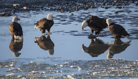 Four bald eagles with reflections Royalty Free Stock Images