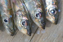 Four baltic herring Stock Photography
